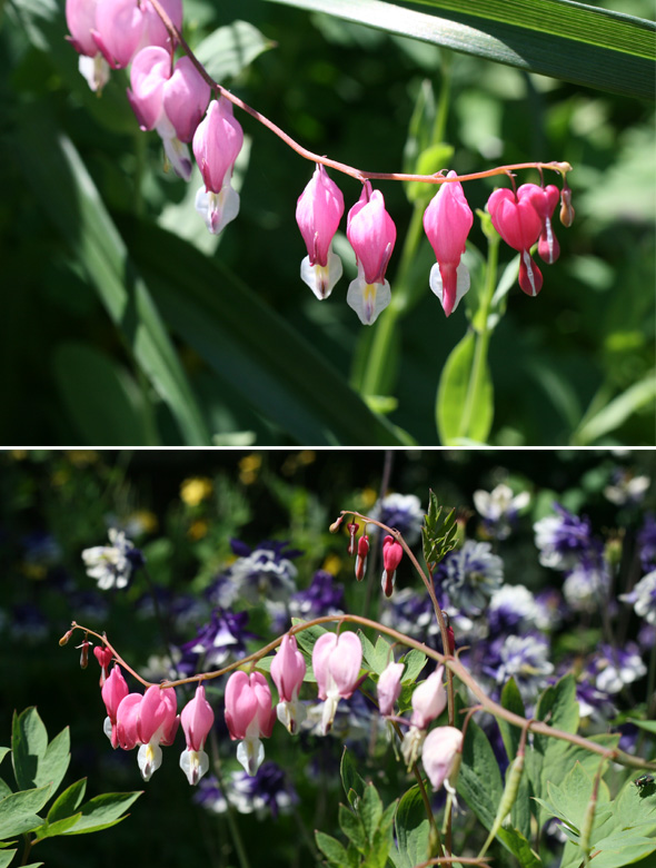 bleeding hearts, flower