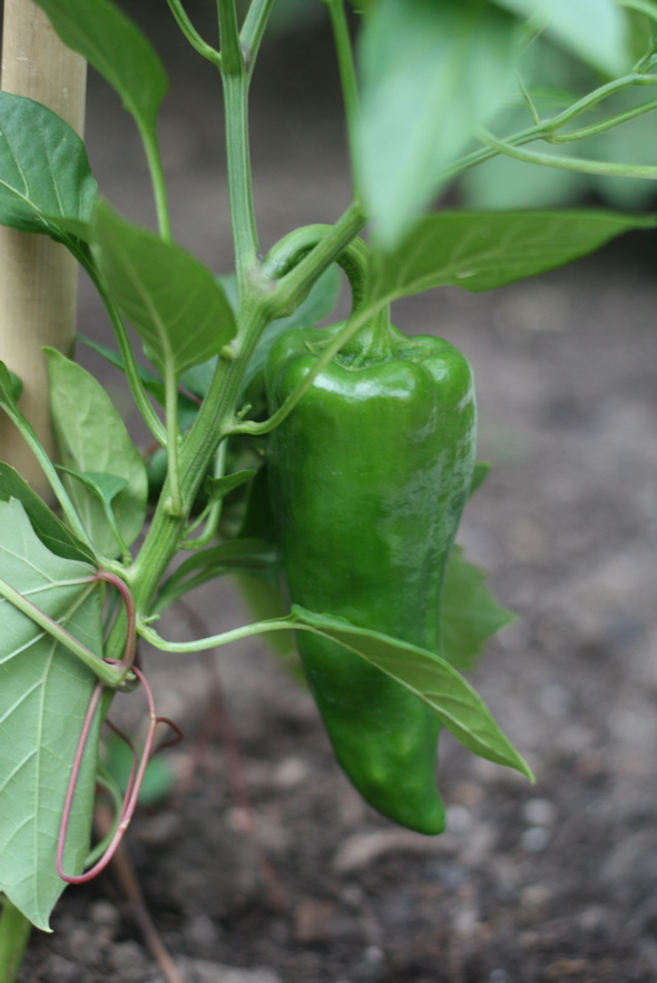 homegrown peppers, backyard vegetable garden