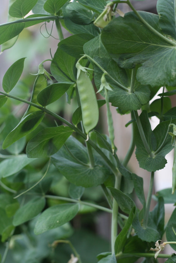 snowpeas, homegrown vegetable garden, backyard vegetable garden
