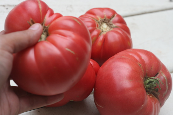 homegrown, beefsteak tomatoes, backyard garden