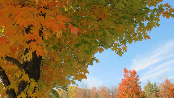 Rockton World's Fair ground, maple tree, fall, leaves changing,