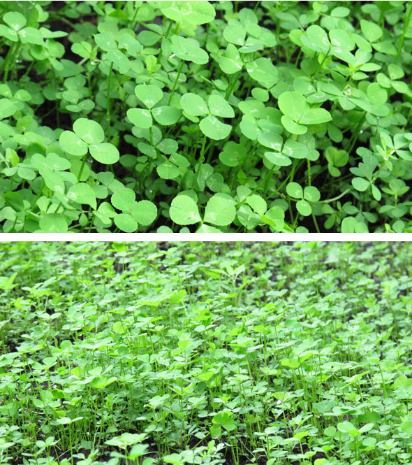 clover, ground clover, lawn alternative, clover patch