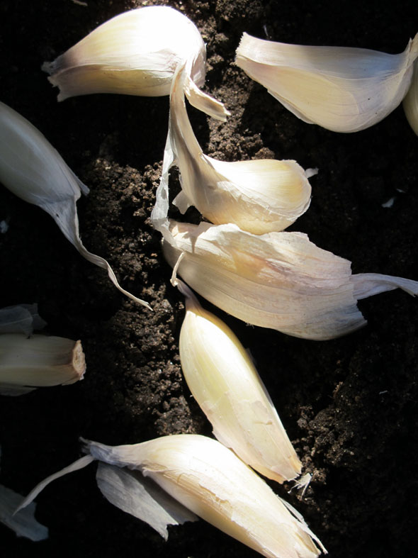 cloves of garlic, ready to plant, planting garlic, mid fall, November