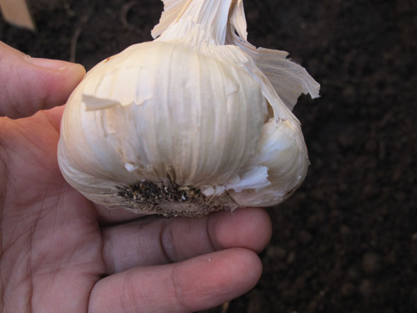 whole garlic, ready to plant, planting garlic, mid fall, November