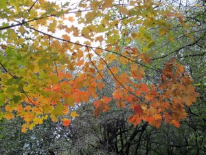 dundas conservation fall maple