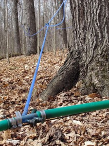 modern maple tree tapping