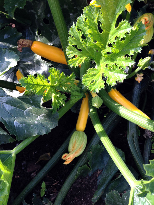 City Hall edible garden yellow zucchini